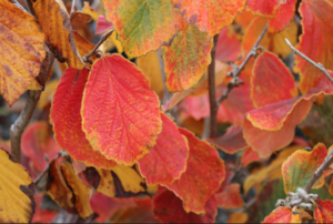 Lawn Care - Spring color in your landscape - Hamamelis x intermedia Arnolds Promise - fall colour 800