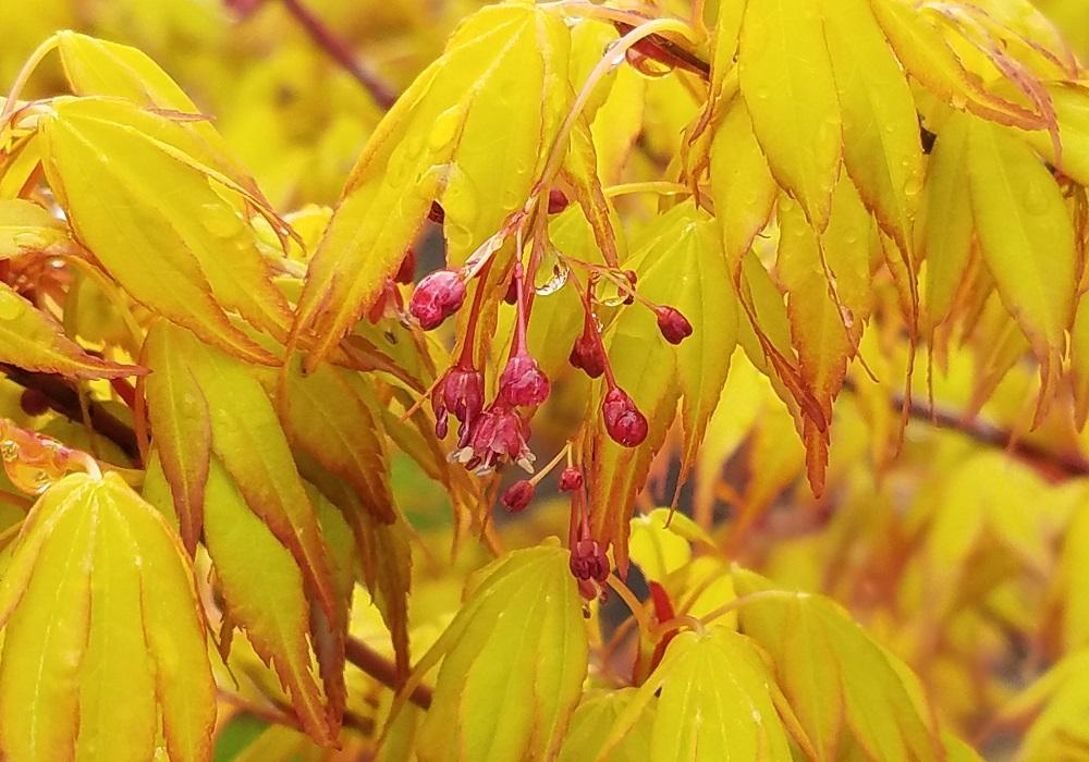 Spring Tree Focus: Katsura Japanese Maple