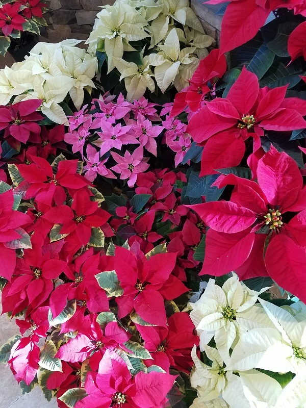 Multicolor Poinsettia Display at the Burkholder Holiday Pop Up Market 2018