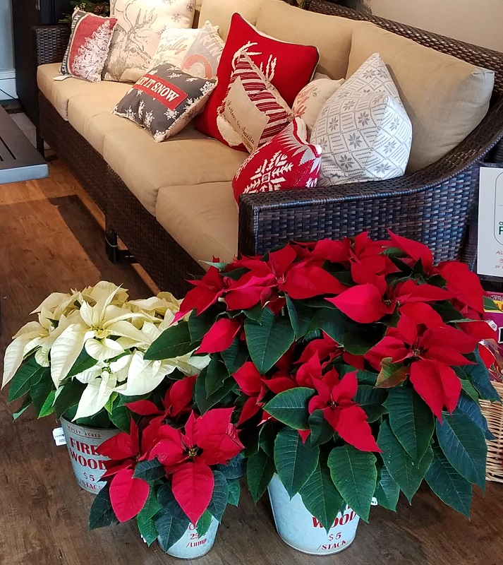 Poinsettias at the Burkholder Holiday Pop-up Marketplace 2018