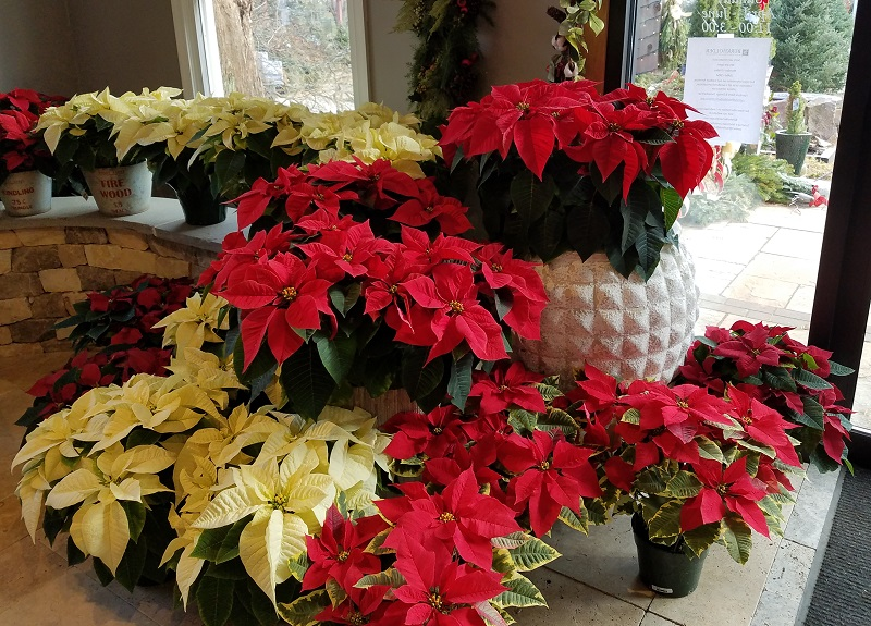Poinsettias on Display at the Burkholder Holiday Pop Up Market 800
