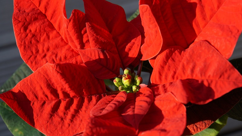 single poinsettia - Burkholder Holiday Pop-up Marketplace