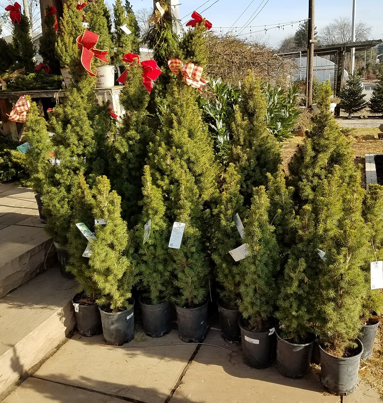 Small potted trees at Burkholder Holiday Pop Up Market