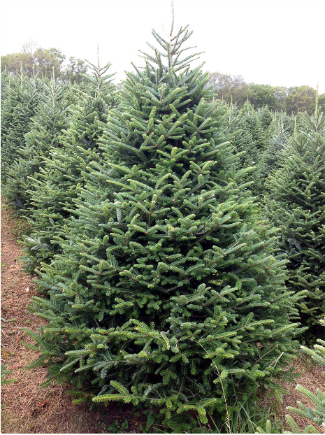 Fraser fir tree is one of the types of fresh Christmas trees you can get at Burkholder's Holiday Market